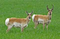 Female and male pronghorns