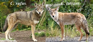 Red wolf vs Coyote