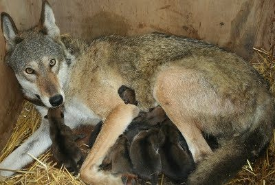 Red Wolf with cubs