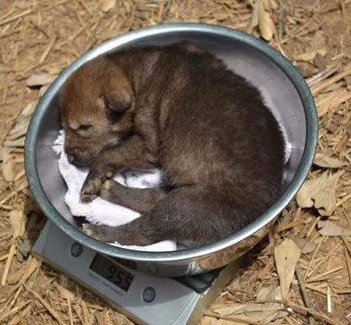 Red wolf pups weigh about a pound at birth.jpg