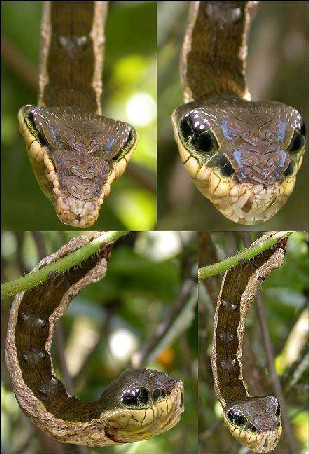 Hawk Moth caterpillars